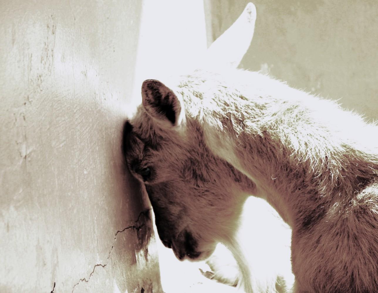 sad-goat3