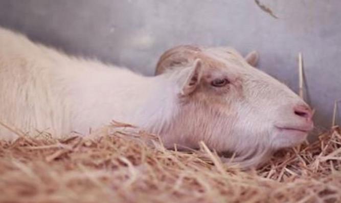 goat5656789-1